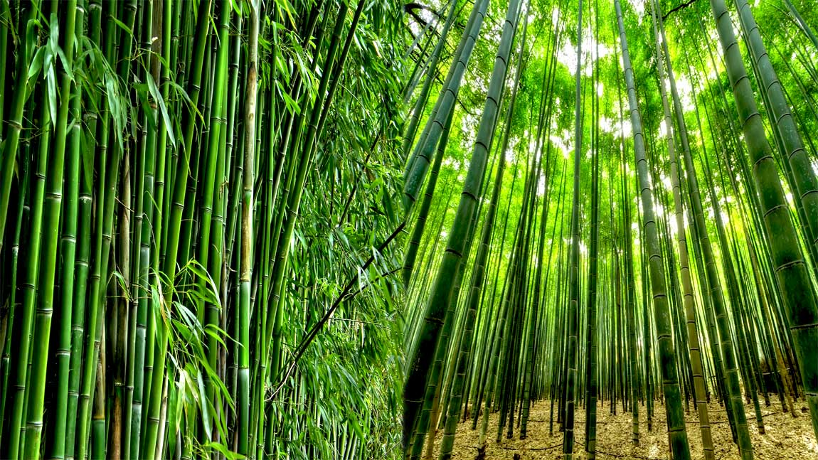 Bamboo Vegetation UK Pedia
